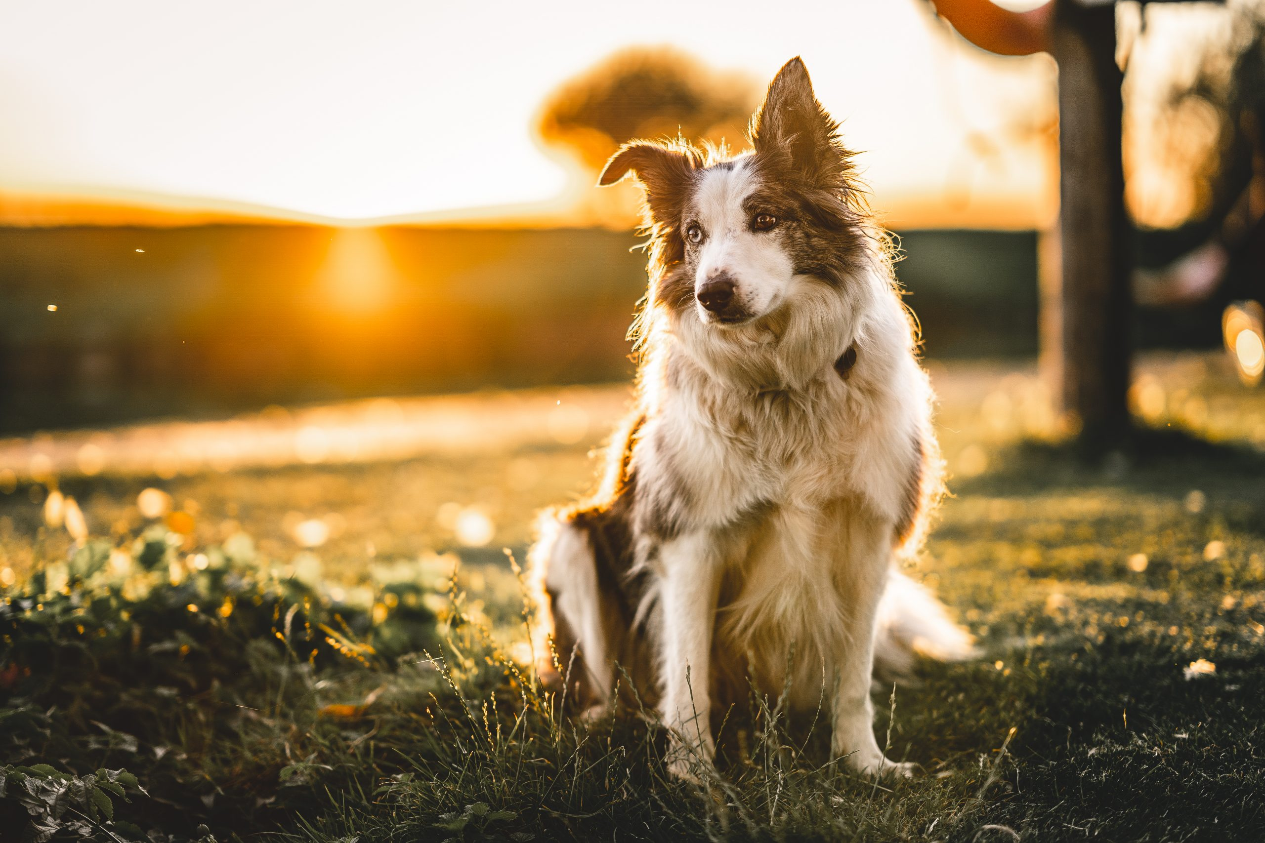 Dogs – Collies